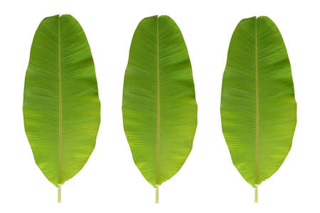 banana leaf isolated on white background,Close-Up Of Banana Leaf Against White Background