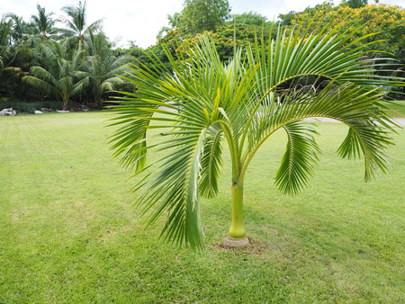 Palm Trees Oasis,Palm trees in the garden,beautiful palm leaves of tree in the park