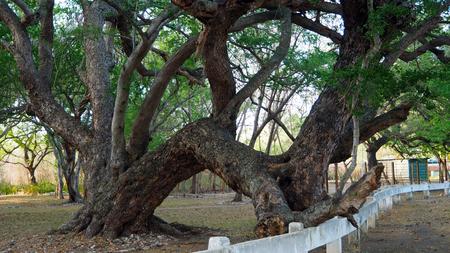 trees holding on fence looking like having sex in Cuba February 2019 Standard-Bild