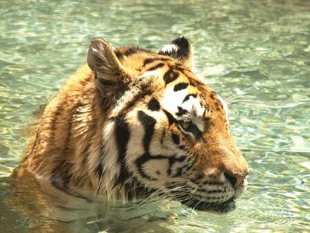 Close up of tiger in water photo