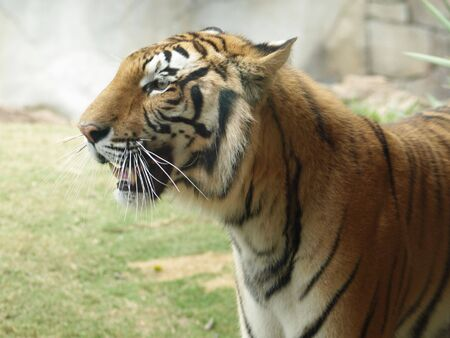 Tiger looking left photo