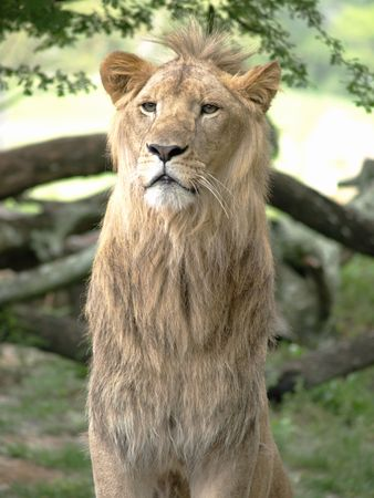 Young male lion on look out photo