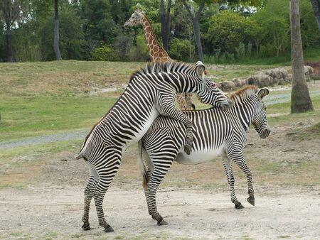 Zebras mating Stock fotó
