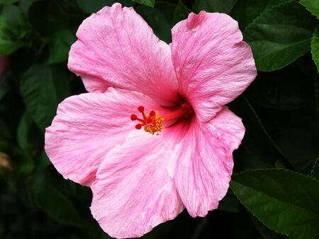 Close up photo of a pink Hibiscus flower Reklamní fotografie