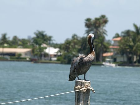 piling: Pelican on a piling horizontal format