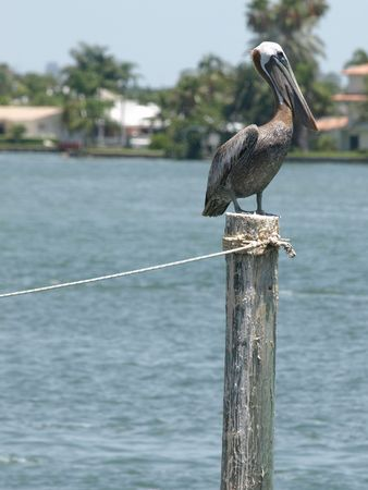 piling: Pelican on a piling vertical format Stock Photo