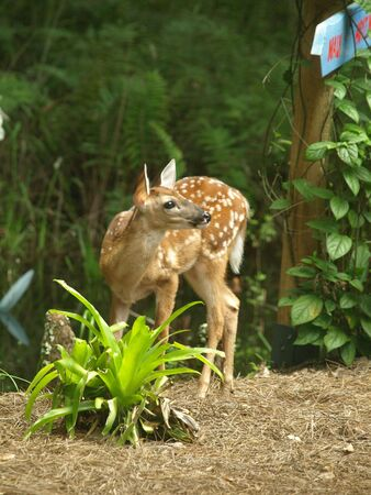 Photo image of a white tailed deer fawn about two weeks old in the forest in Florida photo
