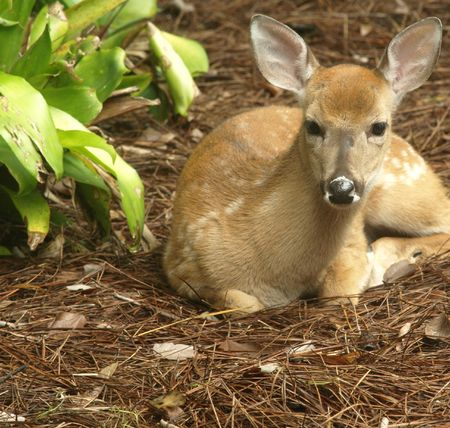 Photo image of a white tailed deer fawn looking forward photo
