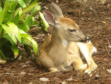Photo image of a white tailed deer fawn resting on a pine needle bead photo