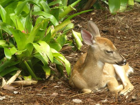 Photo image of a white tailed deer fawn sleeping on a pine needle bed photo