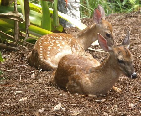 Photo image of a set of twin white tailed deer fawns resting photo