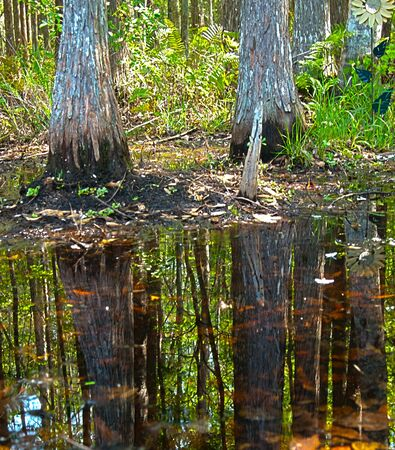 HDR Cypress reflected in wetlands water photo