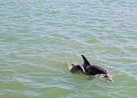 image of a mother and calf bottle nose dolphin photo