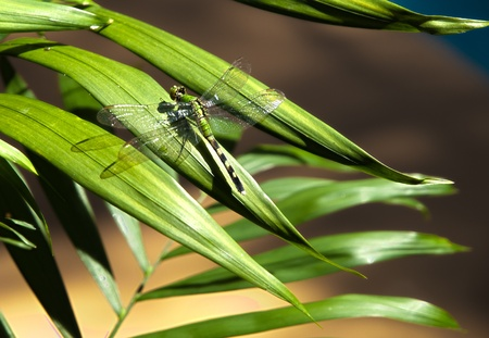 HDR photo image of a Dragon fly on a palm plant photo