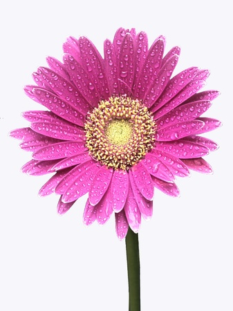 Isolated pink Gerber daisy wet with dew photo