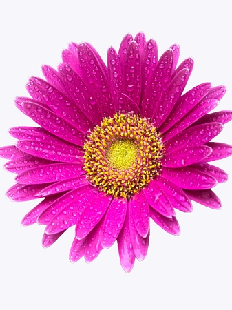 isolated wet gerber daisy