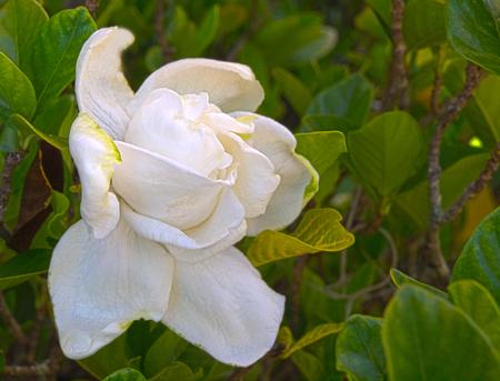 HDR Photo image of a Gardenia Stock Photo