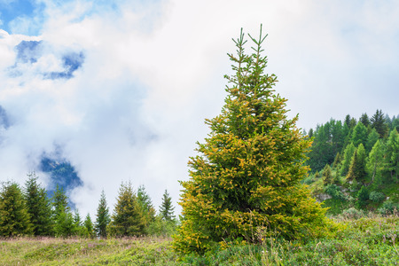 Effect of global warming-yellowed spruce. Alps in Europe.