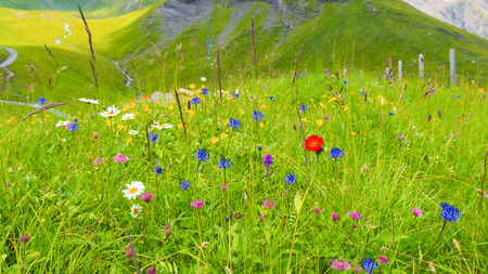 meadows with wild mountain flowers. ?egion Grindelwald. Focus on foreground.