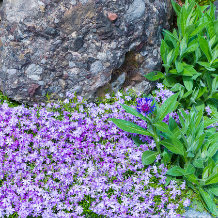 Blaukissen flowers grow in spring between rocks lifestyle garden blaukissen flowers grow in spring between rocks lifestyle garden stock photo 71192991 mightylinksfo