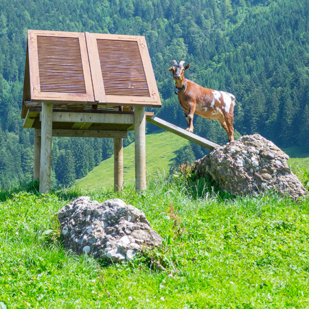 Young Mountain Goat with bell Switzerland Suisse Swiss Stock Photo