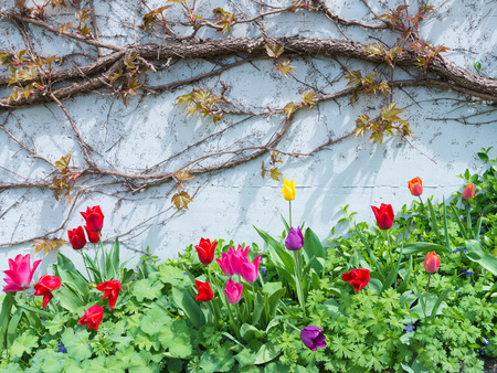 Tulips with dew drops on a leaf bloom brightly on the background of white wall with plants. Stock Photo
