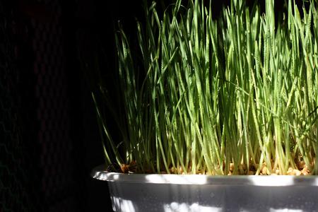 Organic Wheatgrass photo
