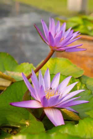 twin violet lotus Stock Photo