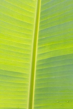 The Banana leaf Close up Under sunlight