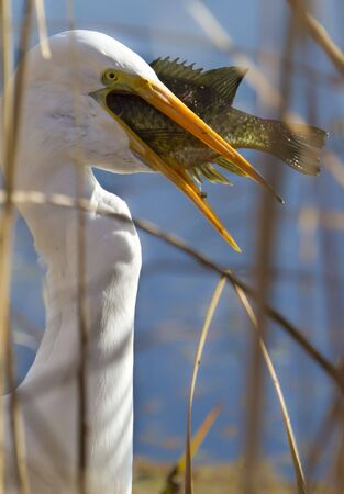 swallowing: Egret swallowing large  fish Stock Photo