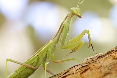 stalking: Praying Mantis stalking a bug Stock Photo