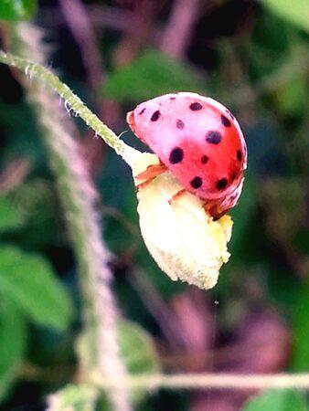 young leaf: La mariquita comiendo hoja joven