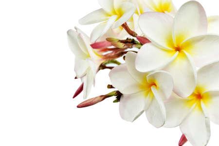 plumeria on a white background: white and yellow of plumeria flowers on white background with clipping paths