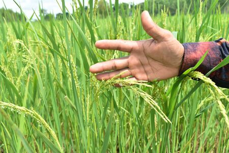 tenderly: hand tenderly touching a young rice in the paddy field.