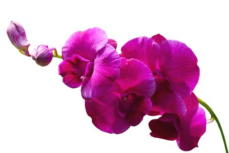 orchidaceae: purple orchids flower on white background with clipping path.