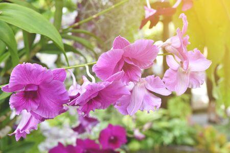 pink orchids flower in garden.