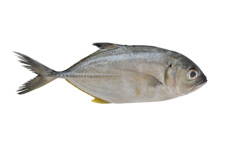 Longfin trevally or Giant kingfish (Caranx ignobilis) is marine animal on white background.