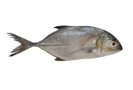 Longfin trevally or Giant kingfish (Caranx ignobilis) is marine animal on white background. This picture have clipping paths for easy use.