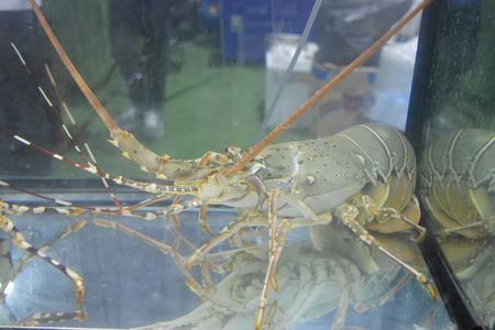 Fresh lobster live in water on display glass cabinets for sale on wet market. Ingredient for seafood cooking or other menu.