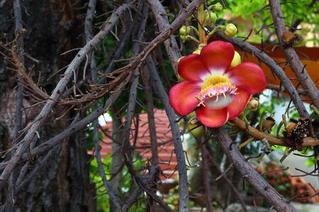 cannonball: cannonball flower on tree