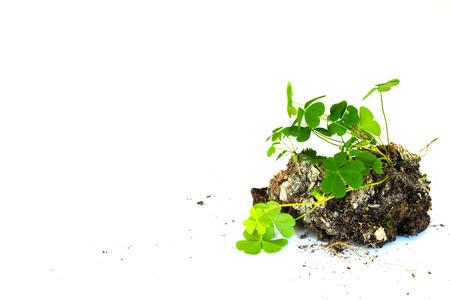 clod: growth plant on mini soli white background Stock Photo