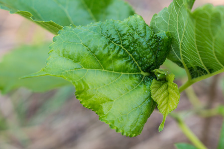 aphid: leaf disease from aphid on plant