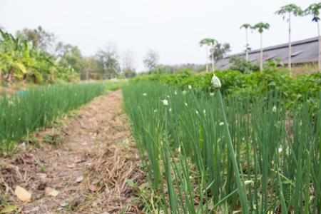 soli: fresh Spring onion in garden good soli Stock Photo