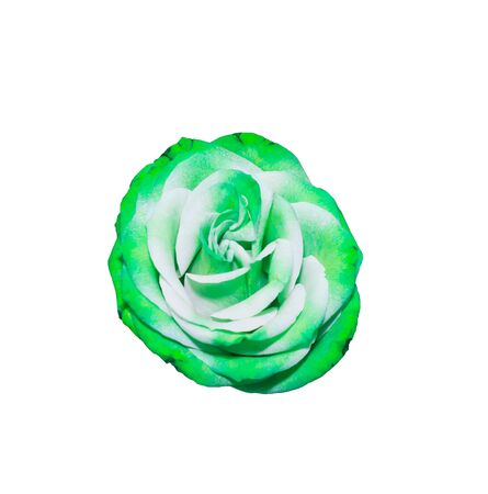 rainbow rose flower white isolated with clipping path for customer Stock Photo