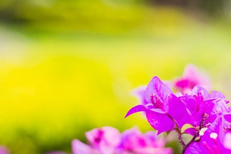 bougainvillea flowers purple color with yellow blured background warm tone Stock Photo
