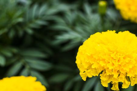 glod color marigold fresh and colorful feeling warm Stock Photo