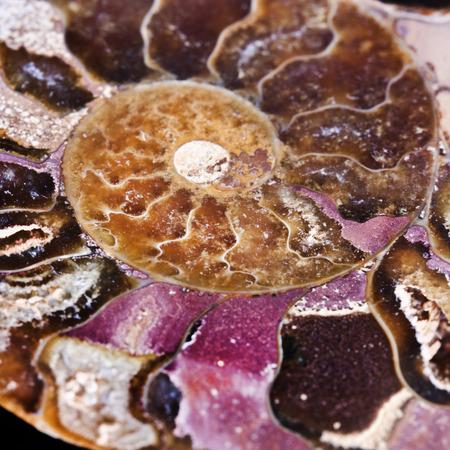 invertebrate: gem extinct marine invertebrate, ammonite