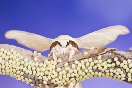 reproducing: silk butterfly cocoon are reproducing themselves Stock Photo