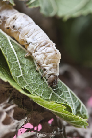 silkworm walking in the mulberry green leaf photo