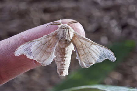 silkworm: silk butterfly cocoon in one finger